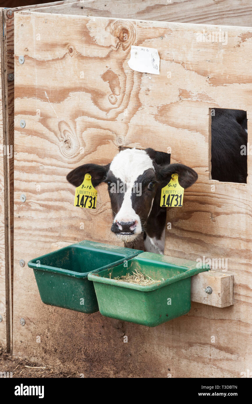 Veal cattle calf with ear tags in a pen crate on farm. Possible animal cruelty in the livestock industry. - Stock Image