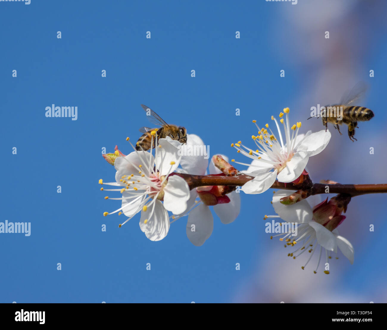 two bees looking for nectar on blossoms of an apricot tree - Stock Image