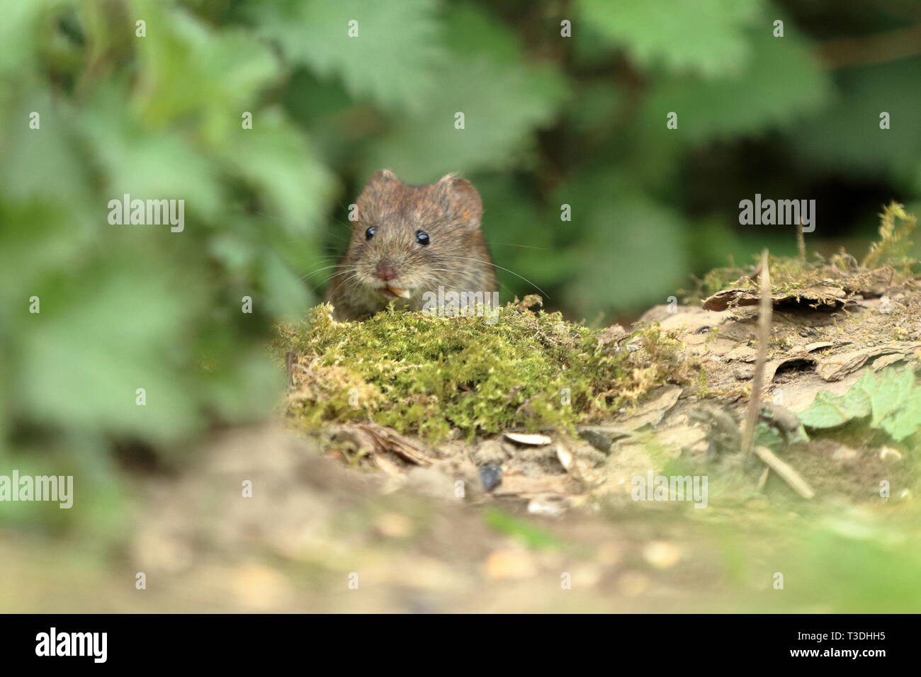 Bank vole with a seed in its mouth - Stock Image