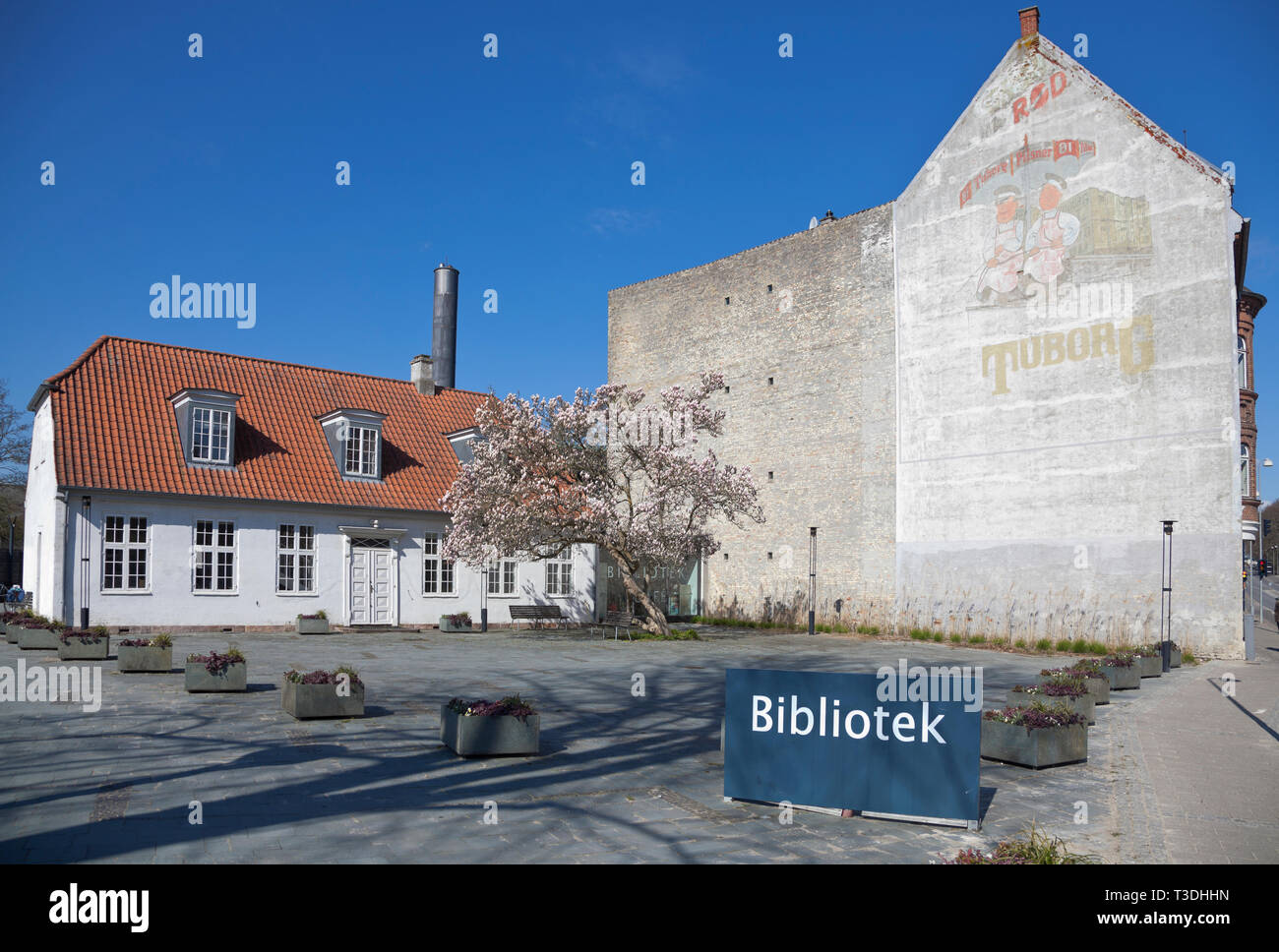 Blooming magnolia tree in front of Lyngby Library and Library Cafe building. Old, faint Red Tuborg beer advert on the wall of neighbouring building. Stock Photo