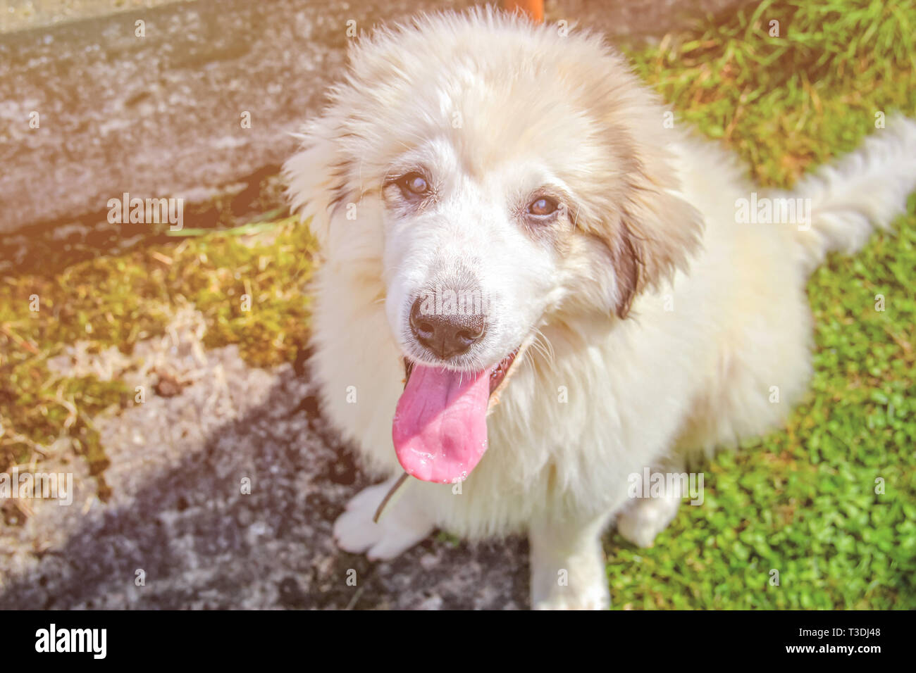 White cute puppy of a Pyrenean mountain dog sitting in green grass. It is sunset and the rays of the sun shine beautifully. - Stock Image