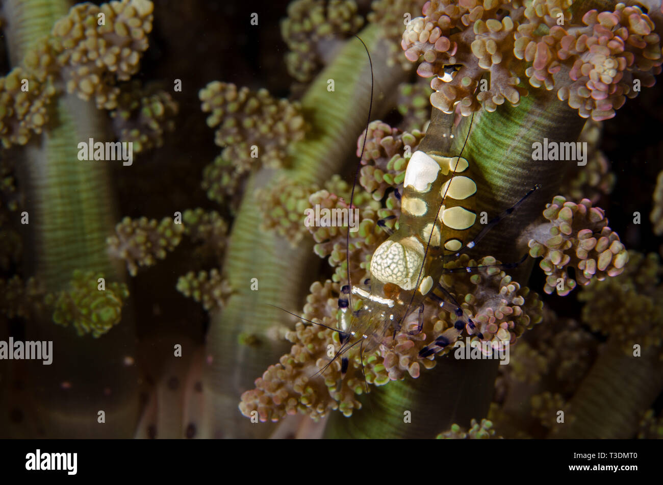 Sarasvati Anemone Shrimp, Periclemenes sarasvati, Palaemonidae, Anilao, Batangas, Philippines, Philippine Sea, Pacific Ocean, Asia - Stock Image