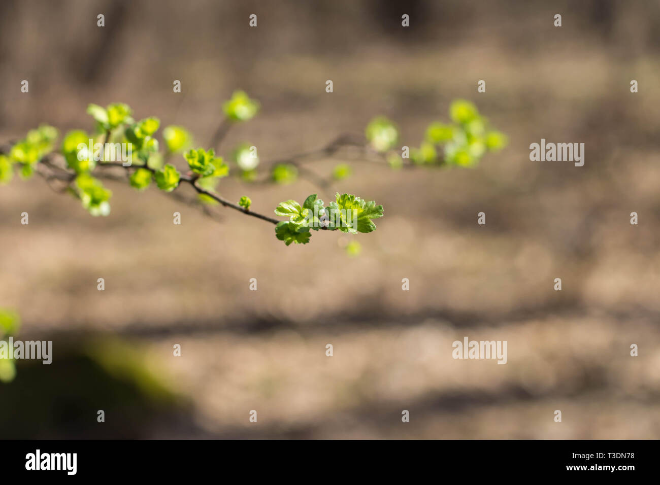 Young green fresh leaves on the branch of hawthorn tree - Stock Image