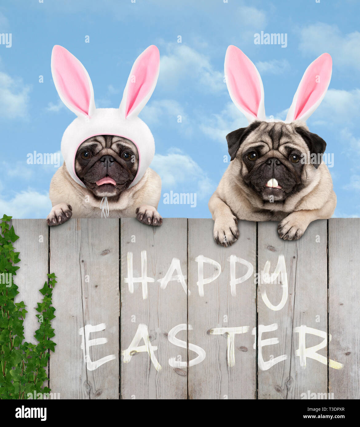 two cute pug puppy dogs, dressed up as easter bunny, hanging with paws on wooden fence, with blue sky background Stock Photo