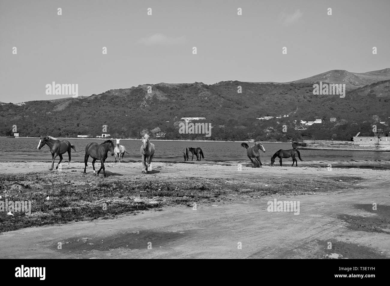 black and white artistic photo of horses on the shore of the Japanese Sea - Stock Image