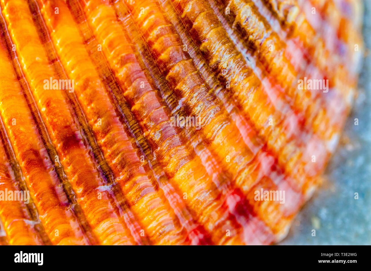 Detail of a Van Hyning's cockleshell found on Dauphin Island, Alabama, Nov. 5, 2013. - Stock Image