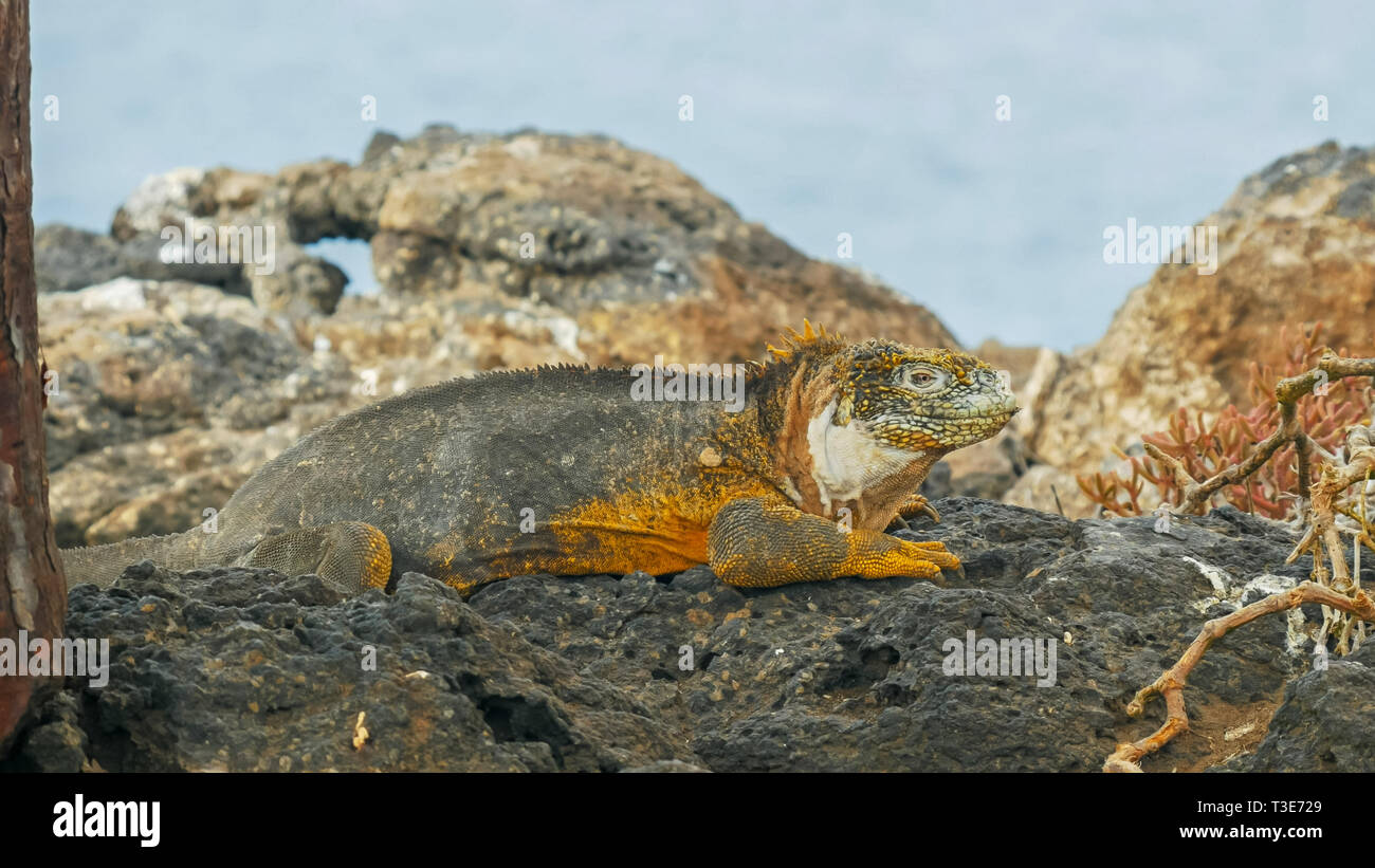 close up of a large land iguana on isla santa fe in the galapagos - Stock Image