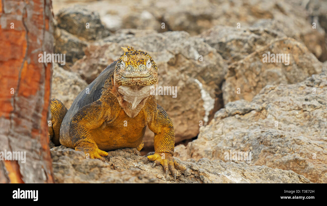 close up of a colorful land iguana sth plaza in the galapagos - Stock Image