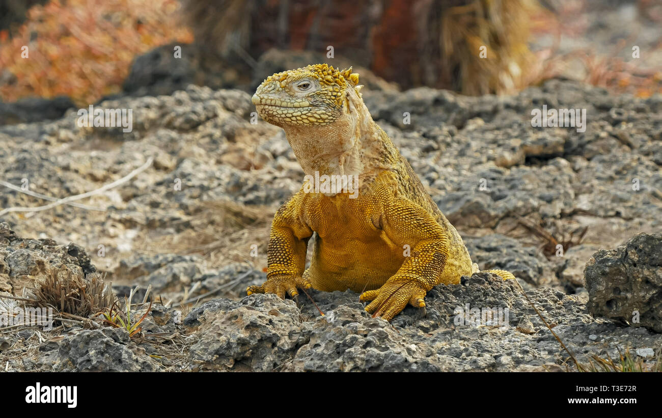 close up of a land iguana turning its head on south plazas in the galapagos - Stock Image