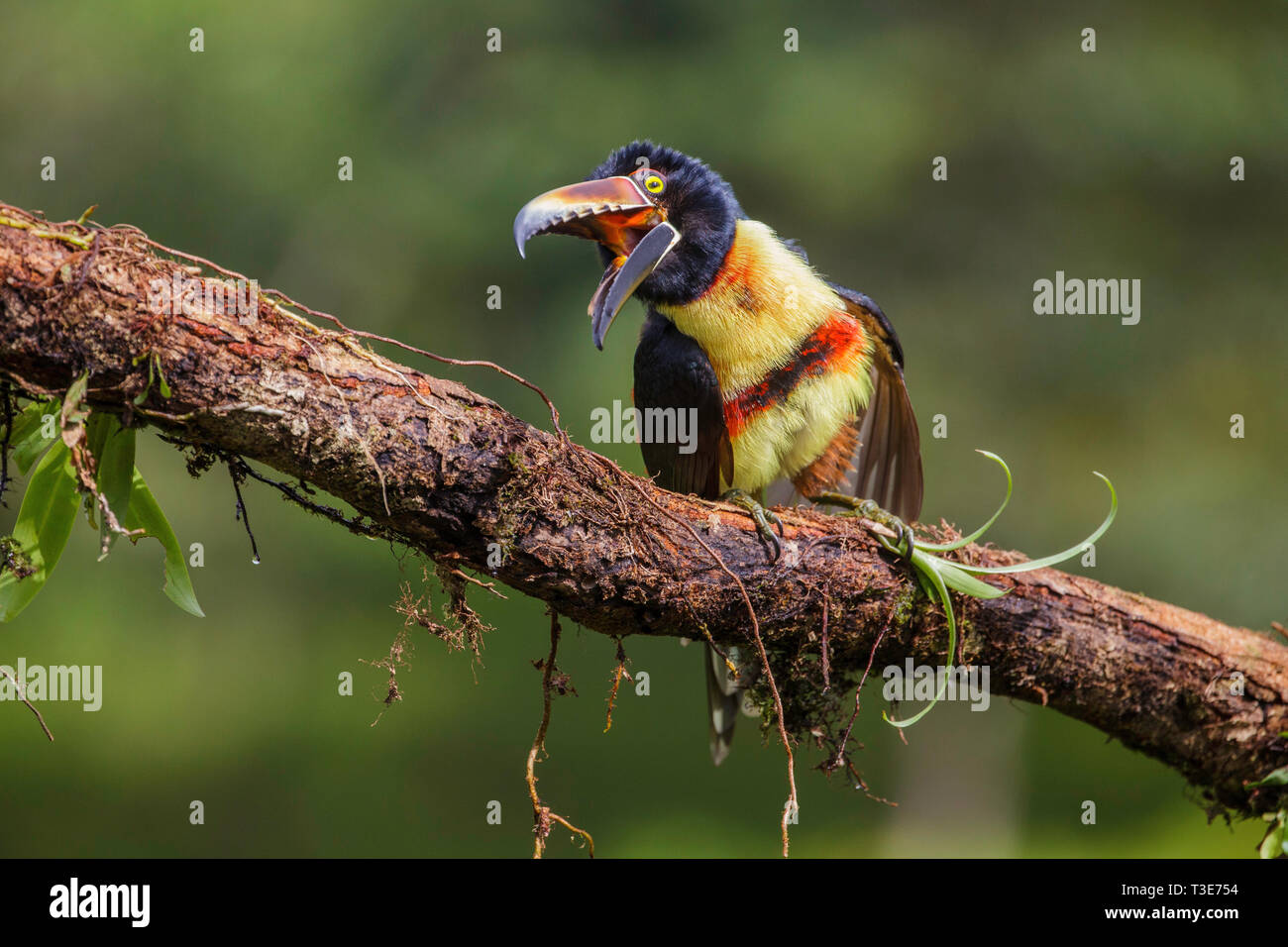 Collared Aracari  Pteroglossus torquatus Pityal, Alajuela Province, Costa Rica 17 March 2019    Adult        Ramphastidae - Stock Image