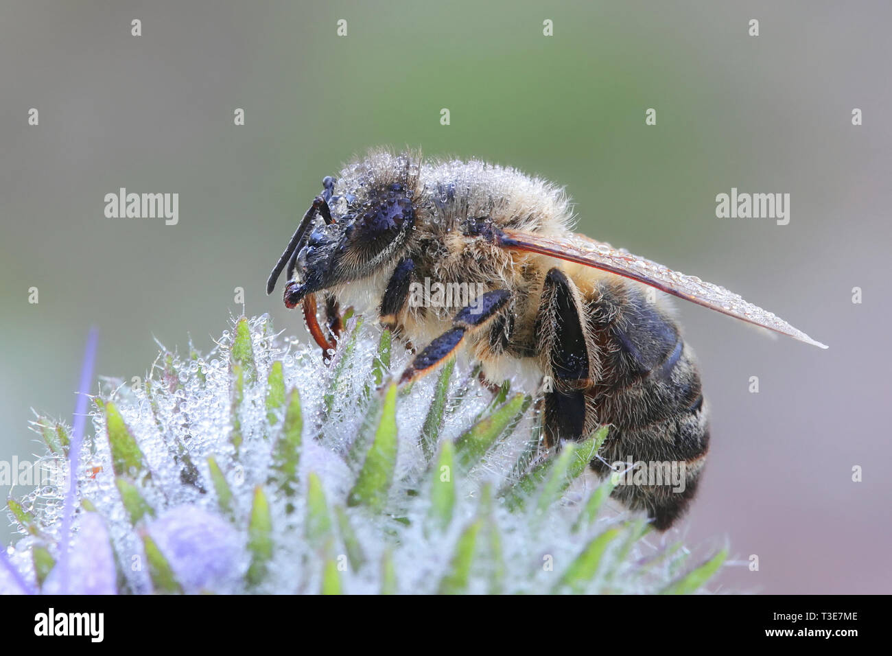 Western honey bee or European honey bee, Apis mellifera - Stock Image
