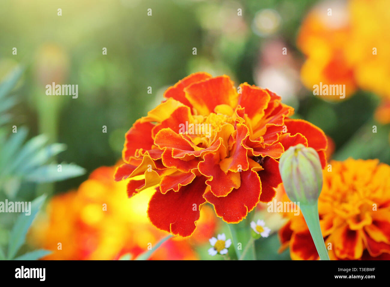 Orange beautiful Marigold flower (Tagetes erecta, Mexican, Aztec or African marigold) in the garden. Stock Photo