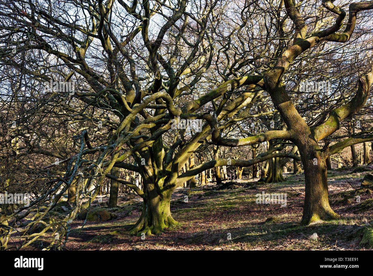 Woodland at Dovestone Reservoir, Greenfield, Oldham Lancashire UK. - Stock Image