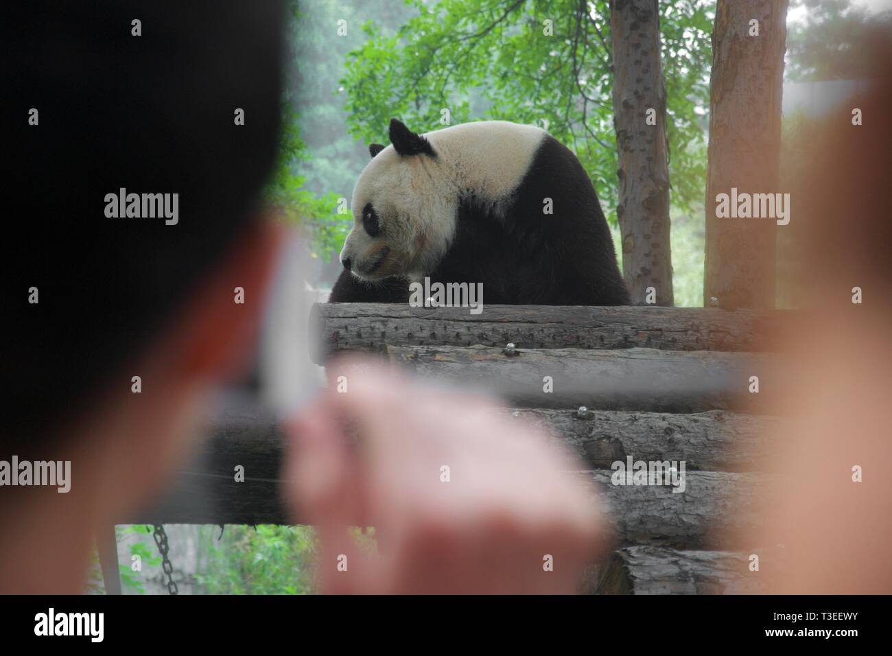 Black and white panda bear walking lazily around on a platform in zoo. Seen between blurred heads of anonymous people spectating - Stock Image