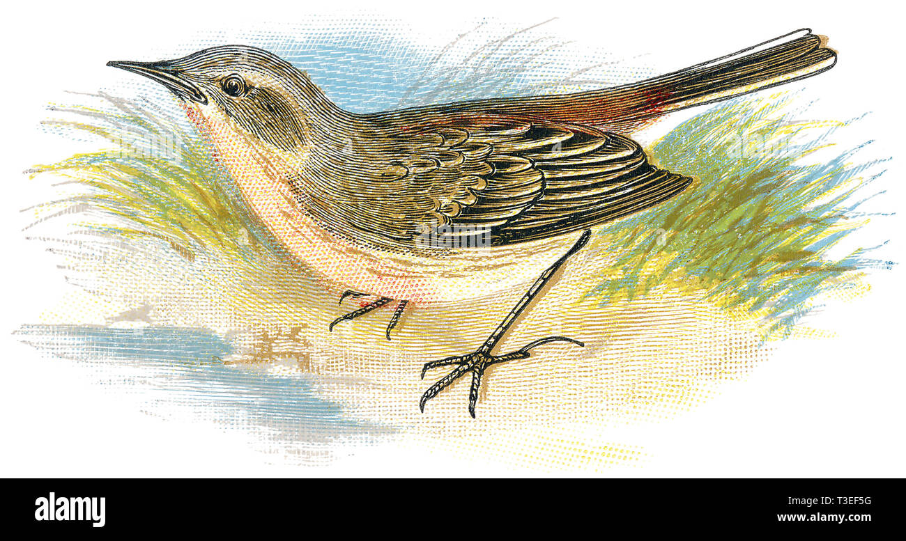 1898 colour engraving of a water pipit (Anthus spinoletta). - Stock Image
