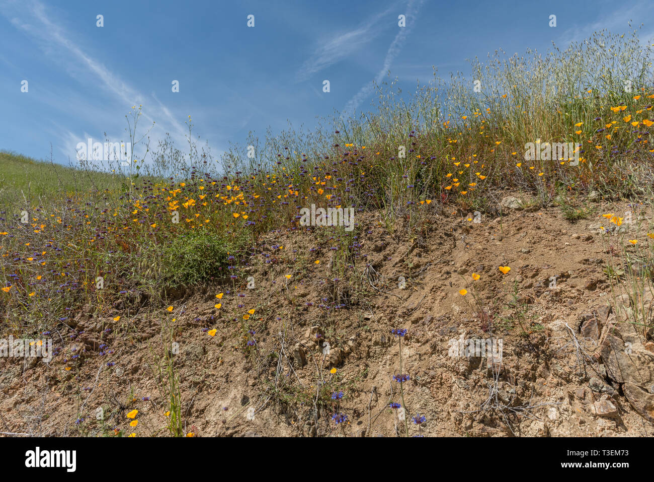 Beautiful wild flowers - a part of the superbloom event in the Walker Canyon mountain range near Lake Elsinore, Southern California - Stock Image