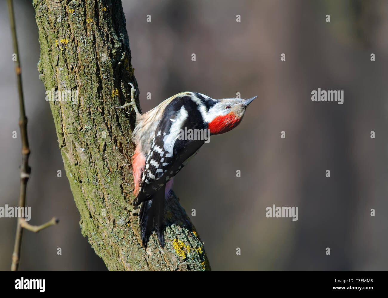 Middle Spotted Woodpecker posing on a trunk with turned head Stock Photo