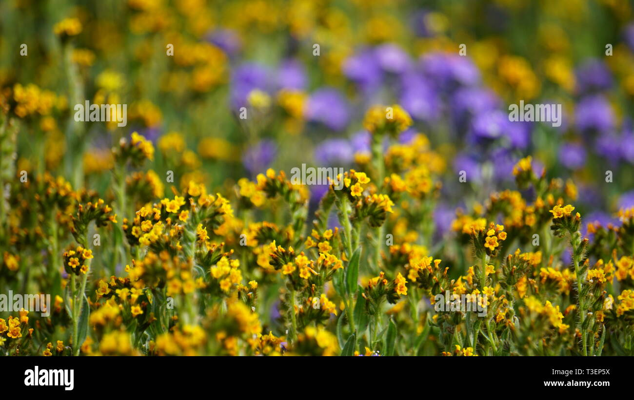 Superbloom 2019, Carizzo Plain, California - Stock Image