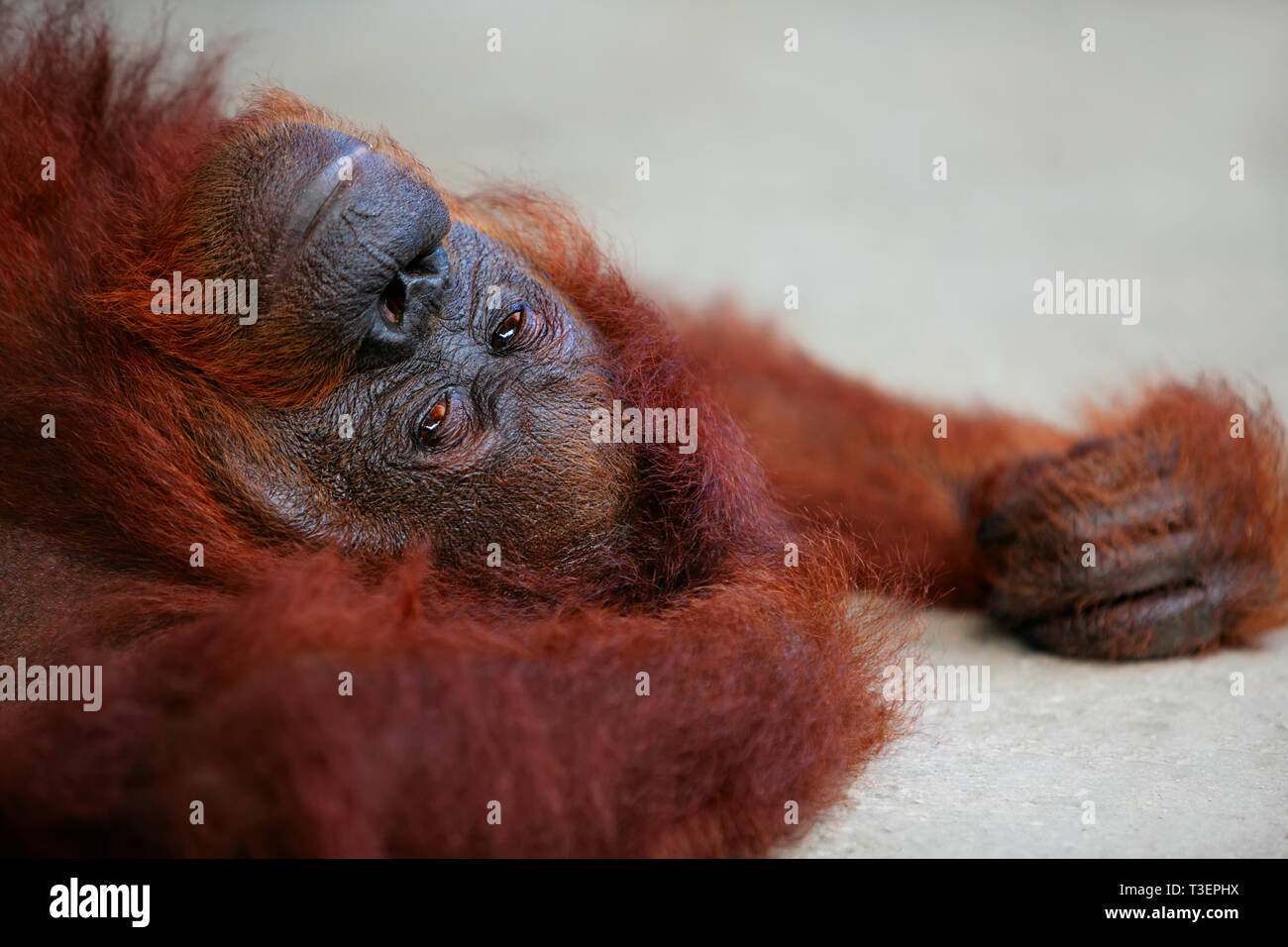 Wild Bornean orangutan at Semenggoh Nature Reserve, Wildlife Rehabilitation Centre in Kuching. Orangutans are endangered apes inhabiting rainforests o Stock Photo