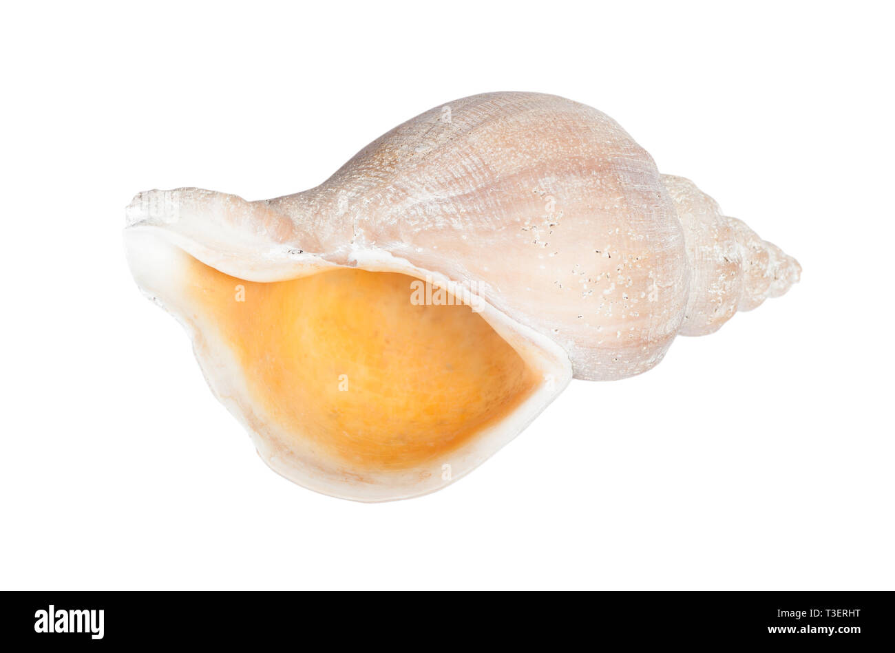 Big seashell in close-up isolated on white background Stock Photo