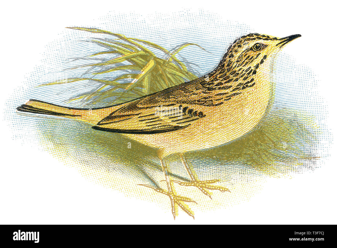 1898 colour engraving of a tawny pipit (Anthus campestris). - Stock Image