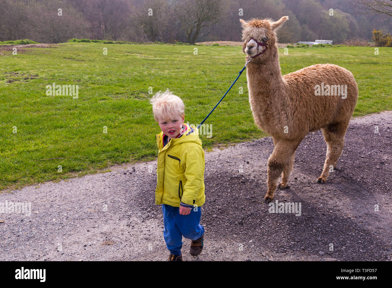 Wareham, Dorset, UK. 9th Apr 2019. Alpaca walks at Longthorns Farm in Wareham. Ethan walks Harry (the ginger one)  (permission received). Credit: Carolyn Jenkins/Alamy Live News - Stock Image