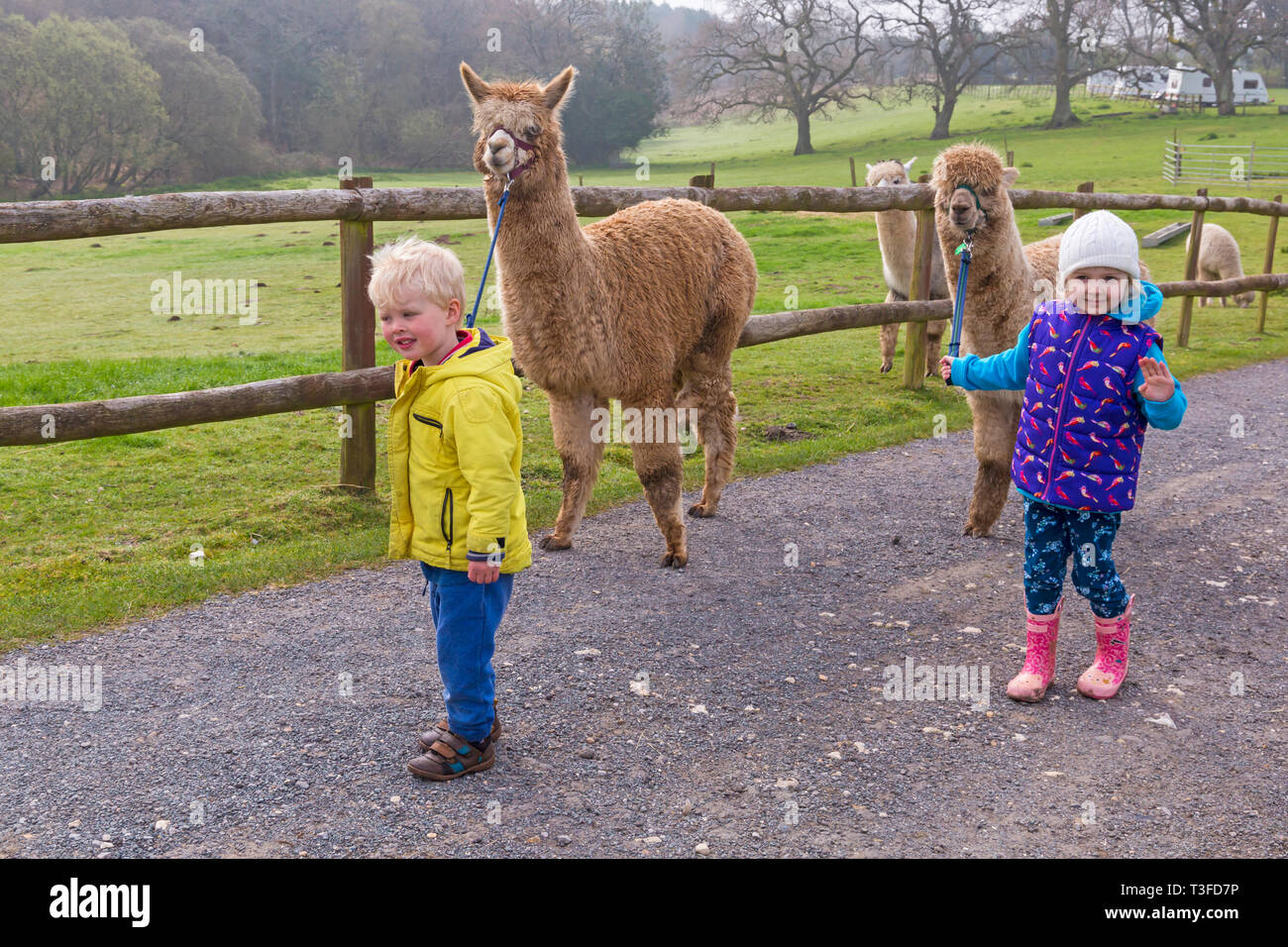 Wareham, Dorset, UK. 9th Apr 2019. Alpaca walks at Longthorns Farm in Wareham. Elliot and Ethan walk Harry (the ginger one) and William (permission received). Credit: Carolyn Jenkins/Alamy Live News - Stock Image
