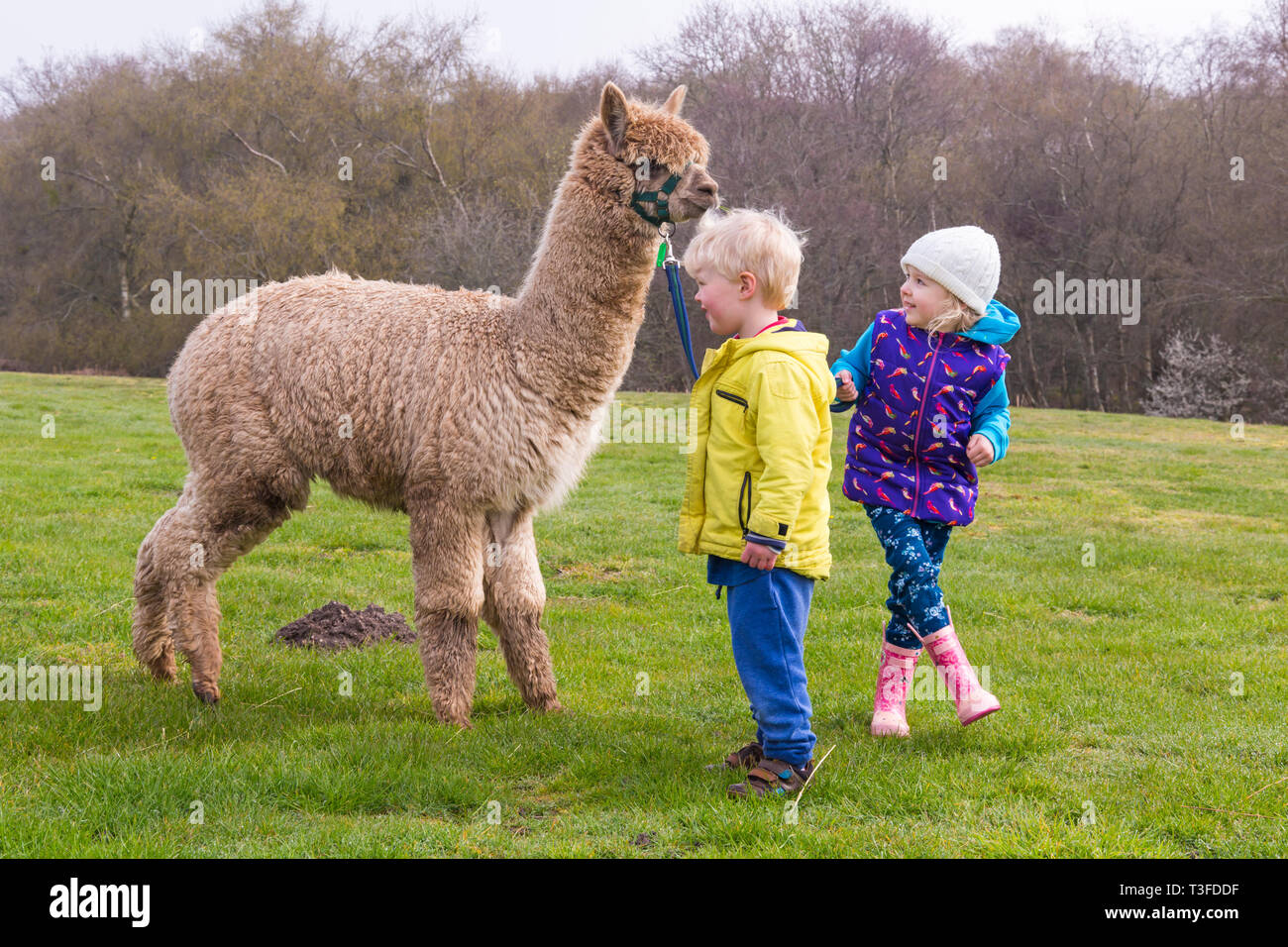 Wareham, Dorset, UK. 9th Apr 2019. Alpaca walks at Longthorns Farm in Wareham. Elliot and Ethan with William, Harry has run away  (permission received). Credit: Carolyn Jenkins/Alamy Live News - Stock Image