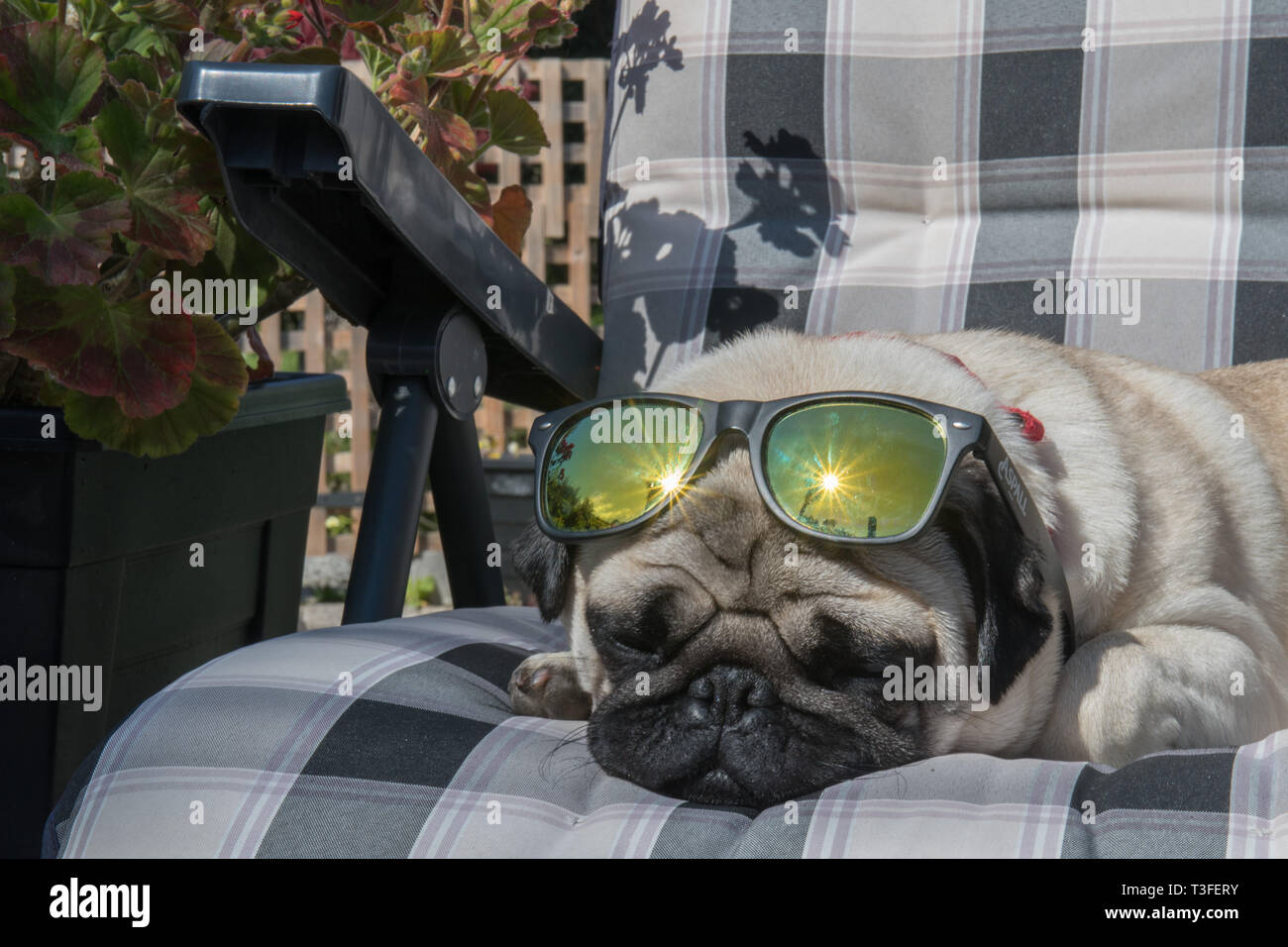 Mousehole, Cornwall, UK. 9th April 2019. UK WEather. Titan the pug up out yet again on his sunlounger this afternoon, as temperatures in south west Cornwall went over 16 degrees C. Credit: Simon Maycock/Alamy Live News Stock Photo