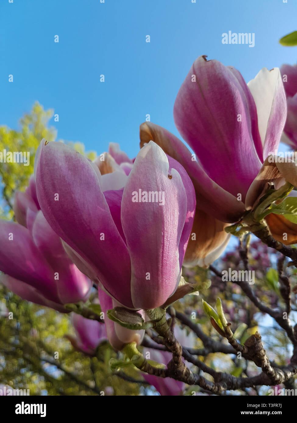 Lotus Flower Tree Plant Stock Photos Lotus Flower Tree Plant Stock