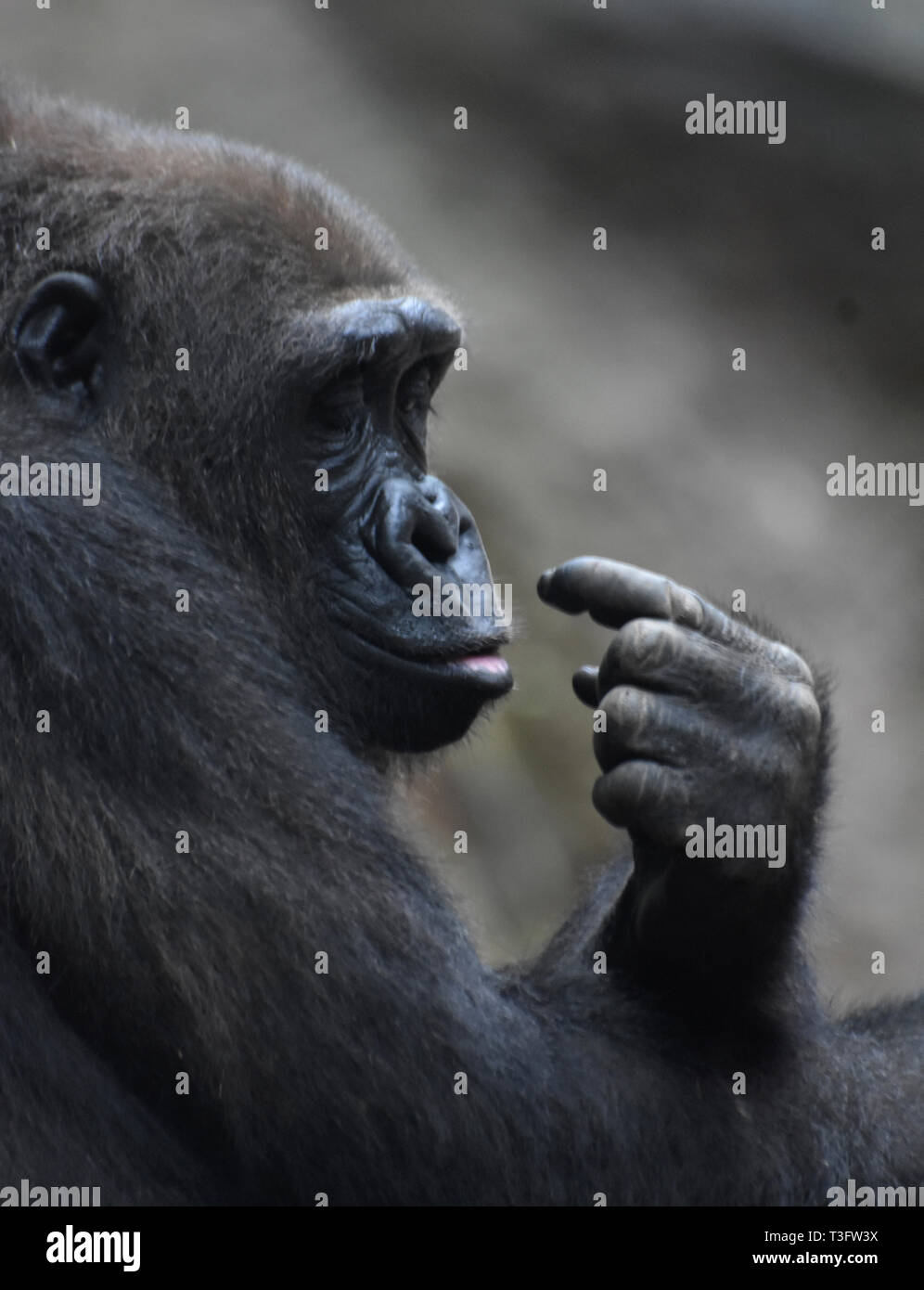 Fully grown mountain gorilla looking at its fingers with intrigued expression. - Stock Image