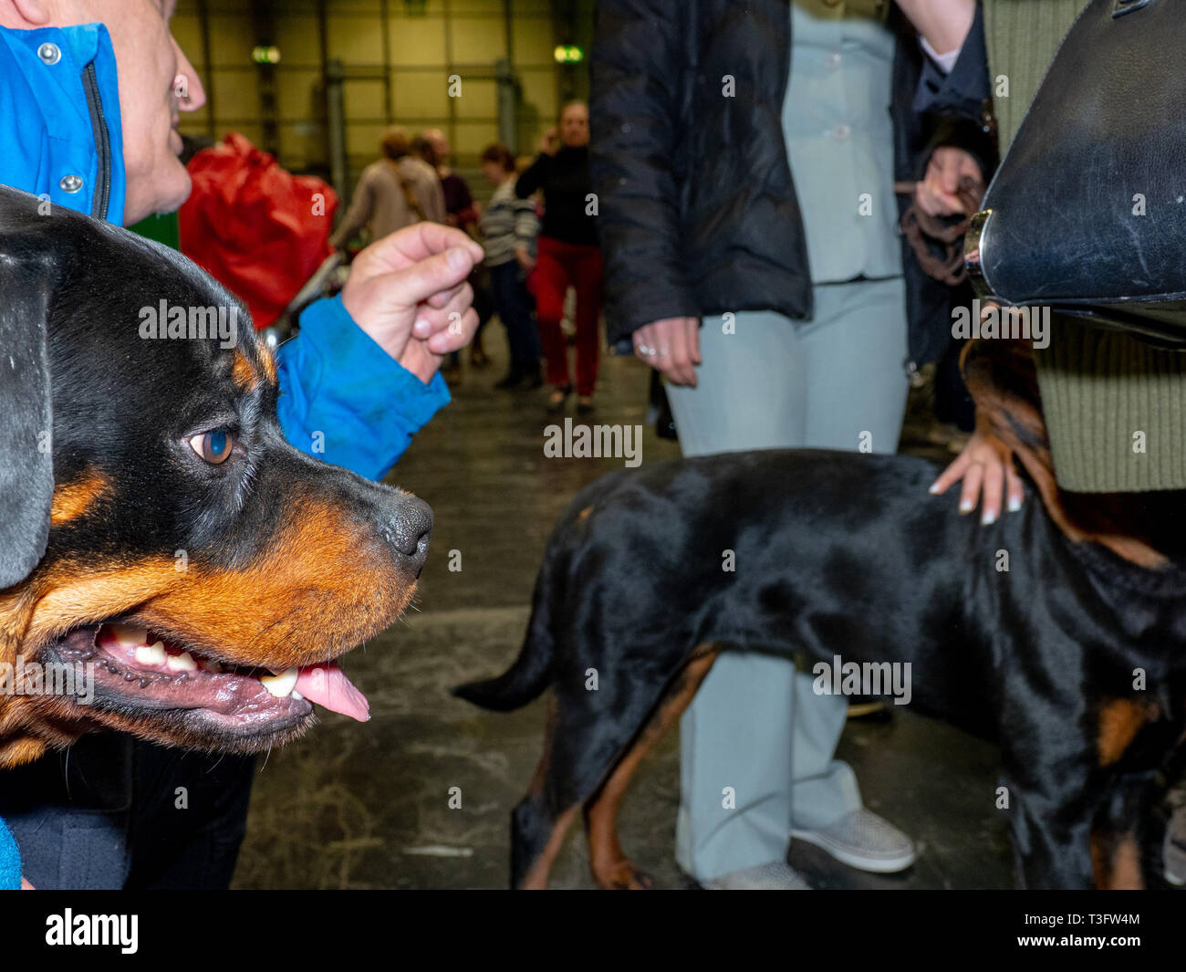 BIRMINGHAM, ENGLAND - MARCH 08: Rottweilers at National Exhibition Centre on March 8, 2019 in Birmingham, England. (Photo by Peter Dench/Getty Images) - Stock Image