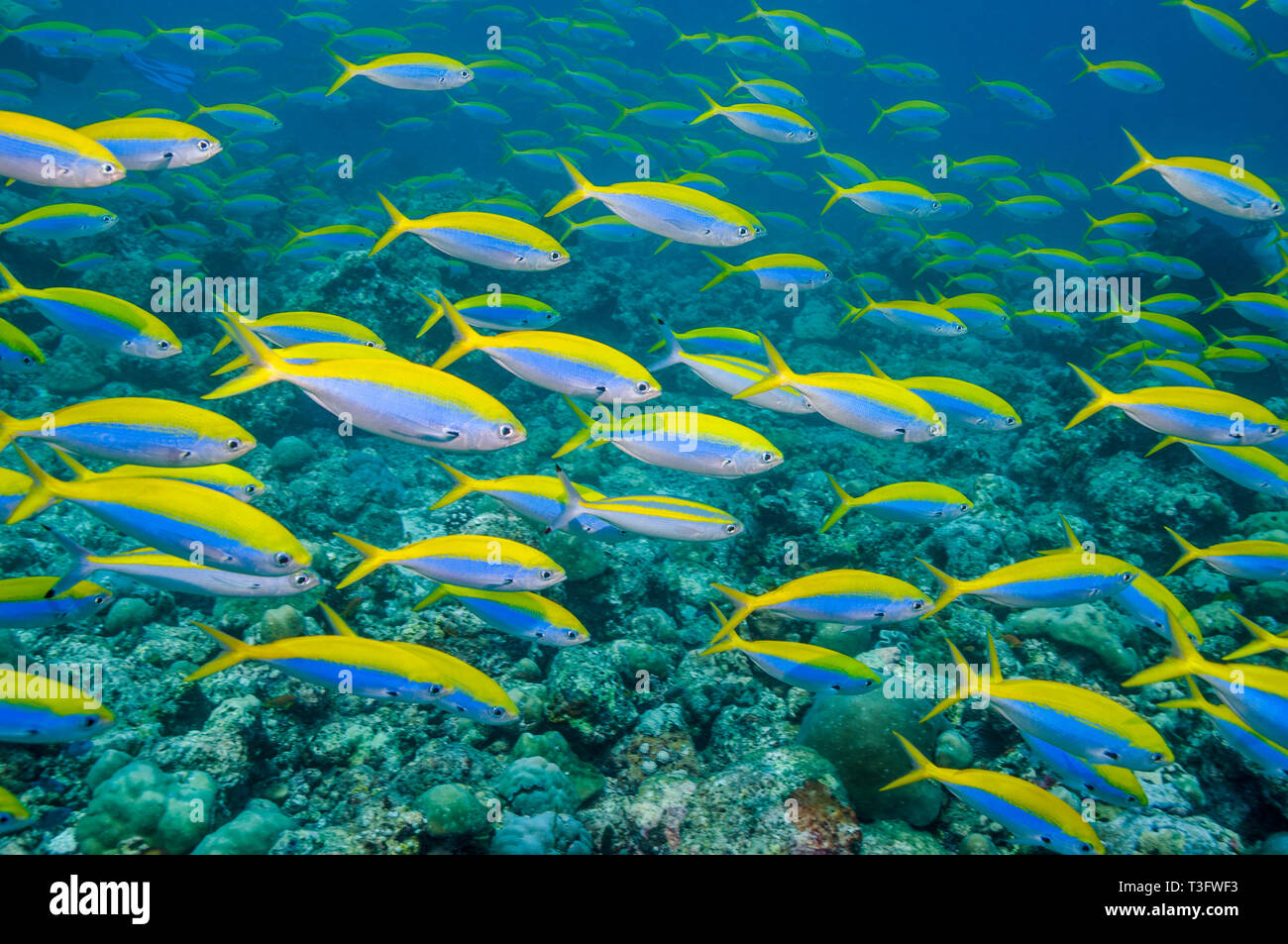 Yellowback fusiliers [Caesio xanthonota] school over coral reef.  Maldives, Indian Ocean.  Indo-West Pacific. Stock Photo