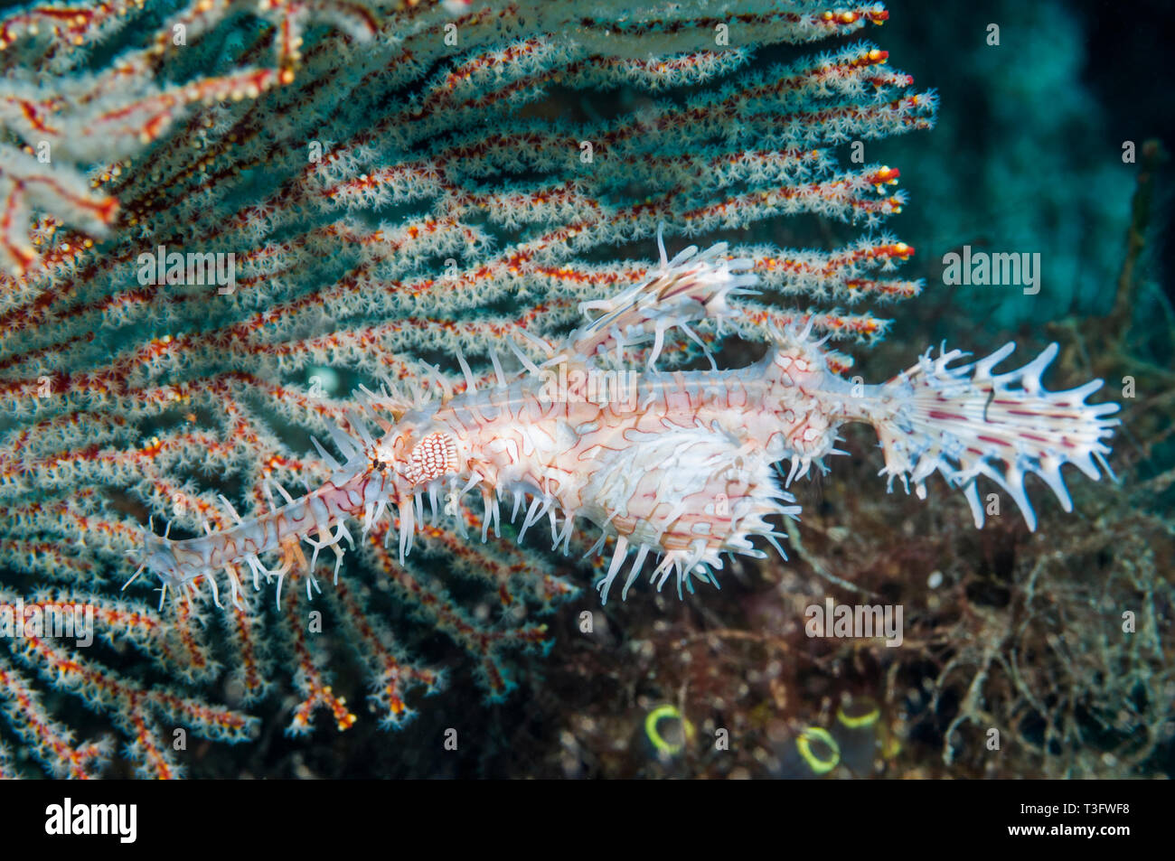 Ornate ghost pipefish [Solenostomus paradoxus], female carrying eggs in pelvic fin pouch.  Komodo National Park, Indonesia.  Indo-West Pacific. - Stock Image