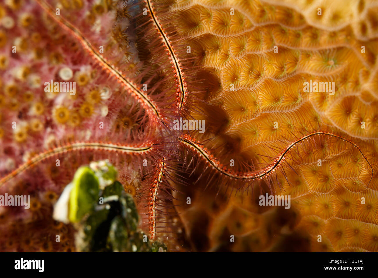 Close up of Brittle Sea Star, Brittle stars or ophiuroids, echinoderms, class Ophiuroidea, on a spanish dancer - Stock Image
