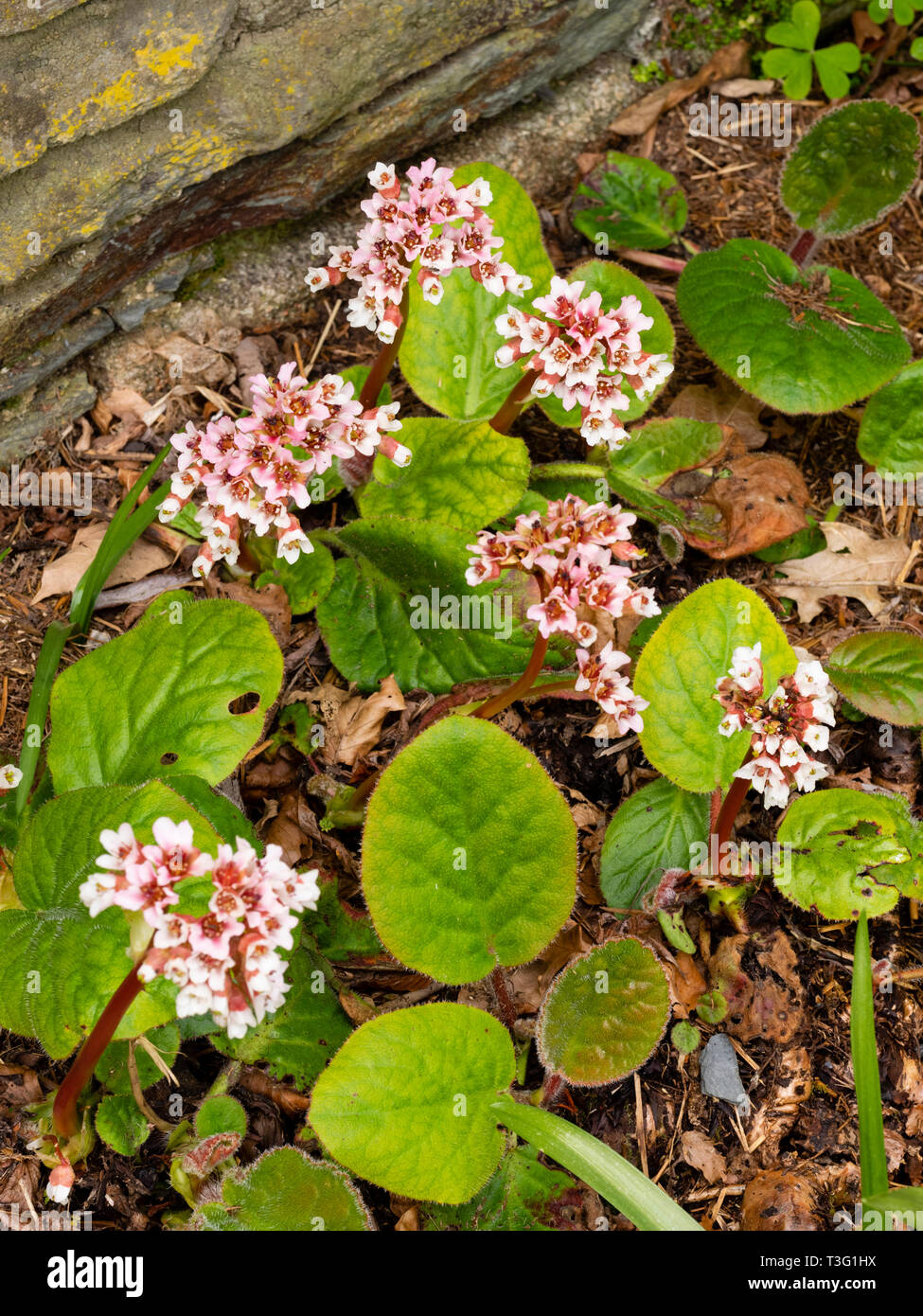 Pink and white flowers emerge above hairy, deciduous foliage of the spring blooming perennial, Bergenia ciliata - Stock Image