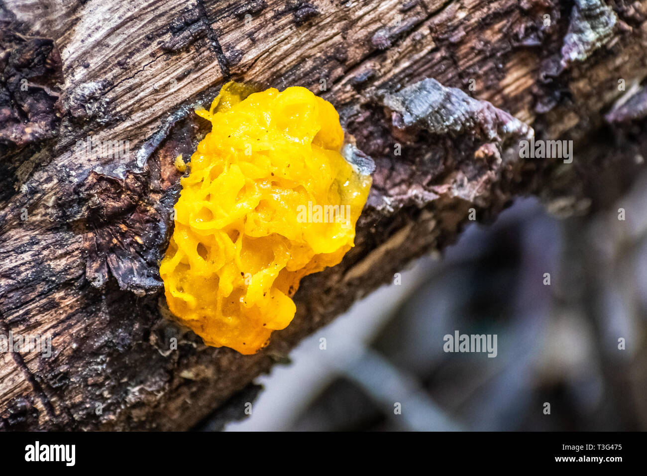 Witches' butter (Tremella mesenterica) growing on a tree trunk in the forests of Marin County, north San Francisco bay area, California - Stock Image
