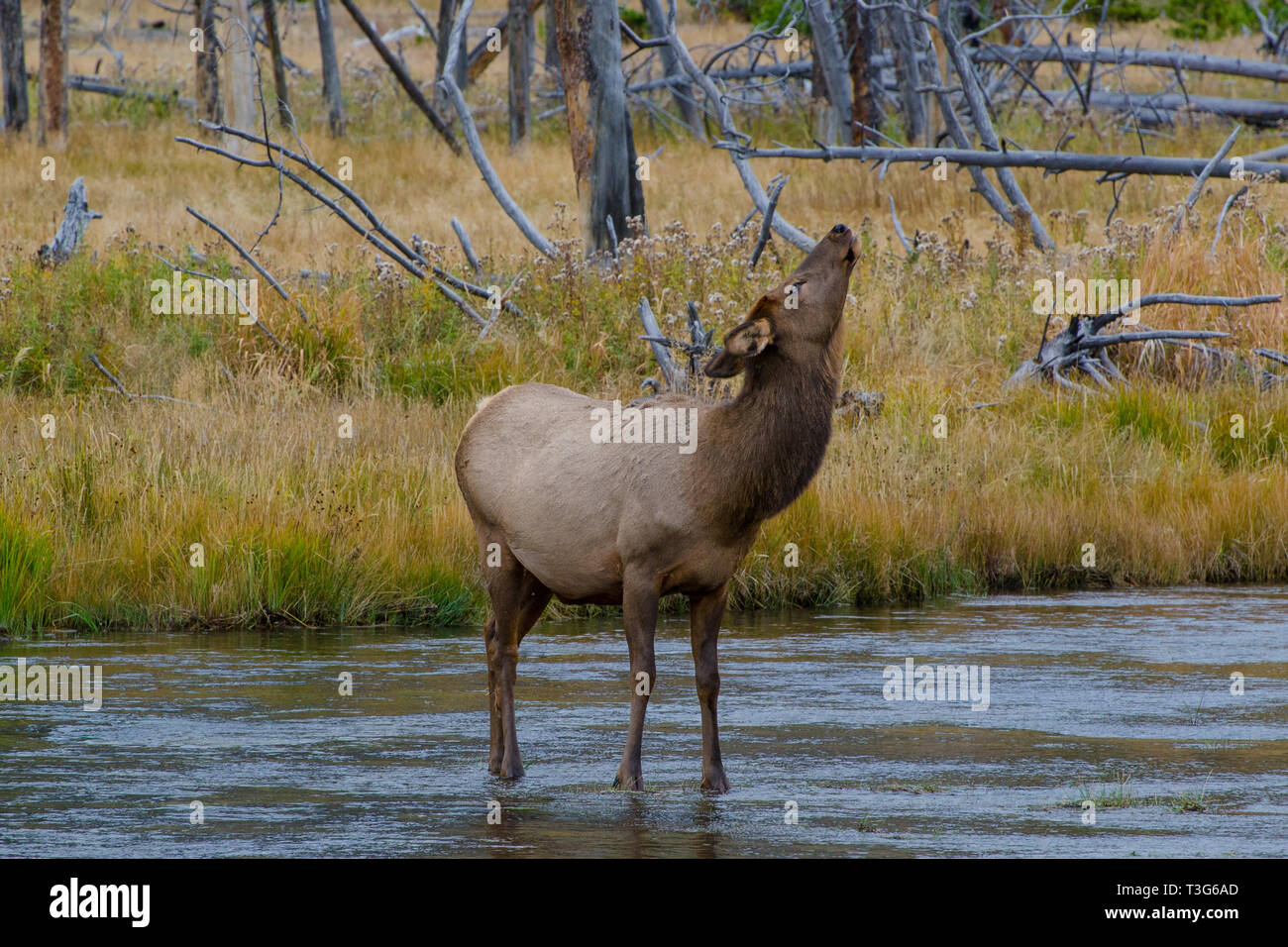 Wild Female Elk pausing Midstream while Crossing Madison River in Yellowstone - Stock Image