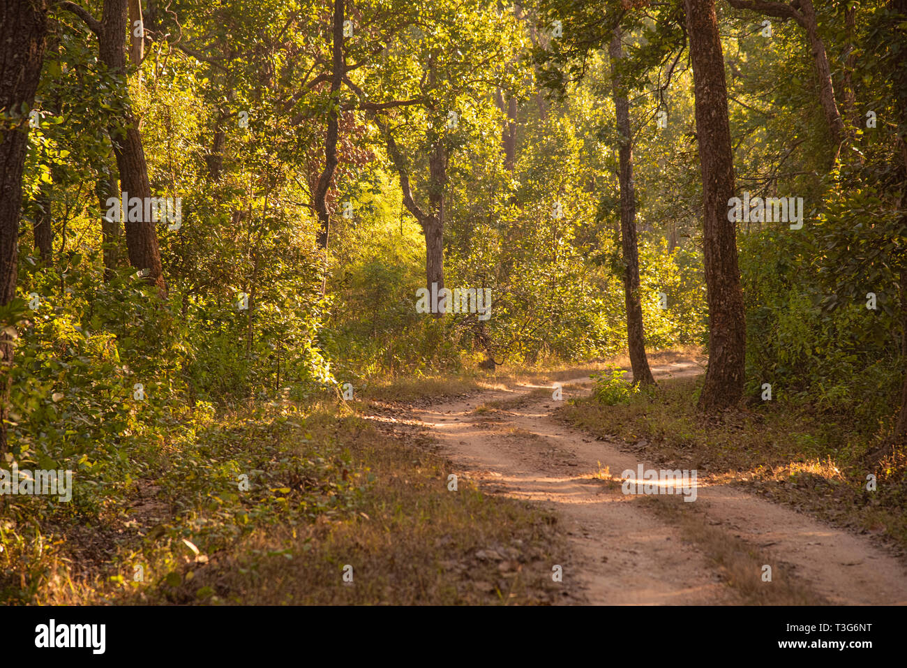 Kanha National Park,Tiger crossing,forest tract.entering deep forest,M,P.India. Stock Photo