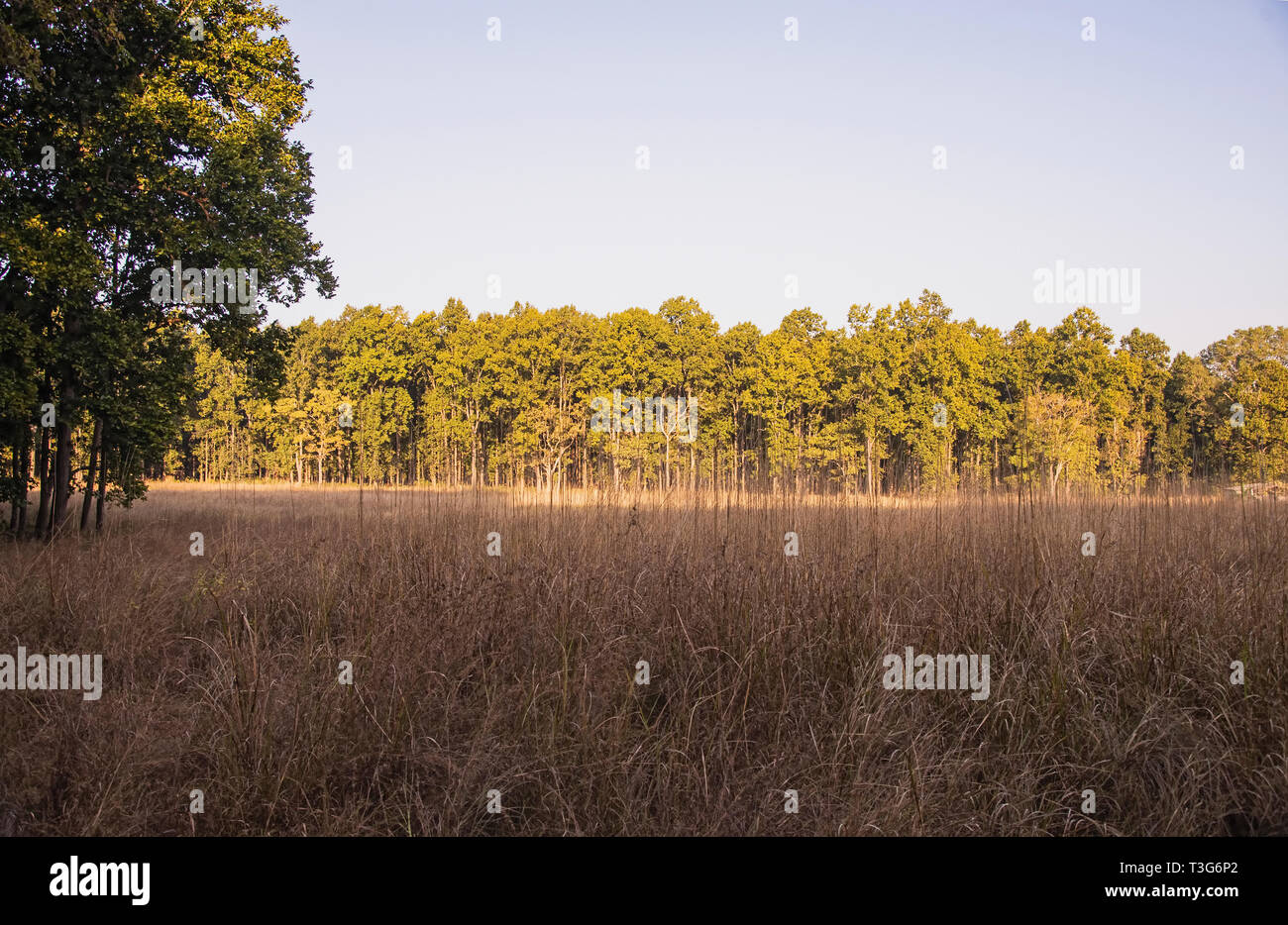 Kanha National Park,greying ,grassland,evergreen,sal forest,afternoon,light,MP, India. - Stock Image