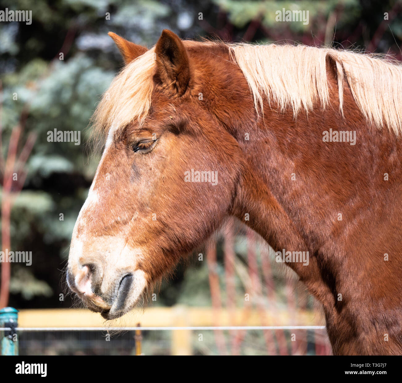 A Belgian Draft Horse S Head And Neck Photographed In Profile With A Shallow Depth Of Field Stock Photo Alamy