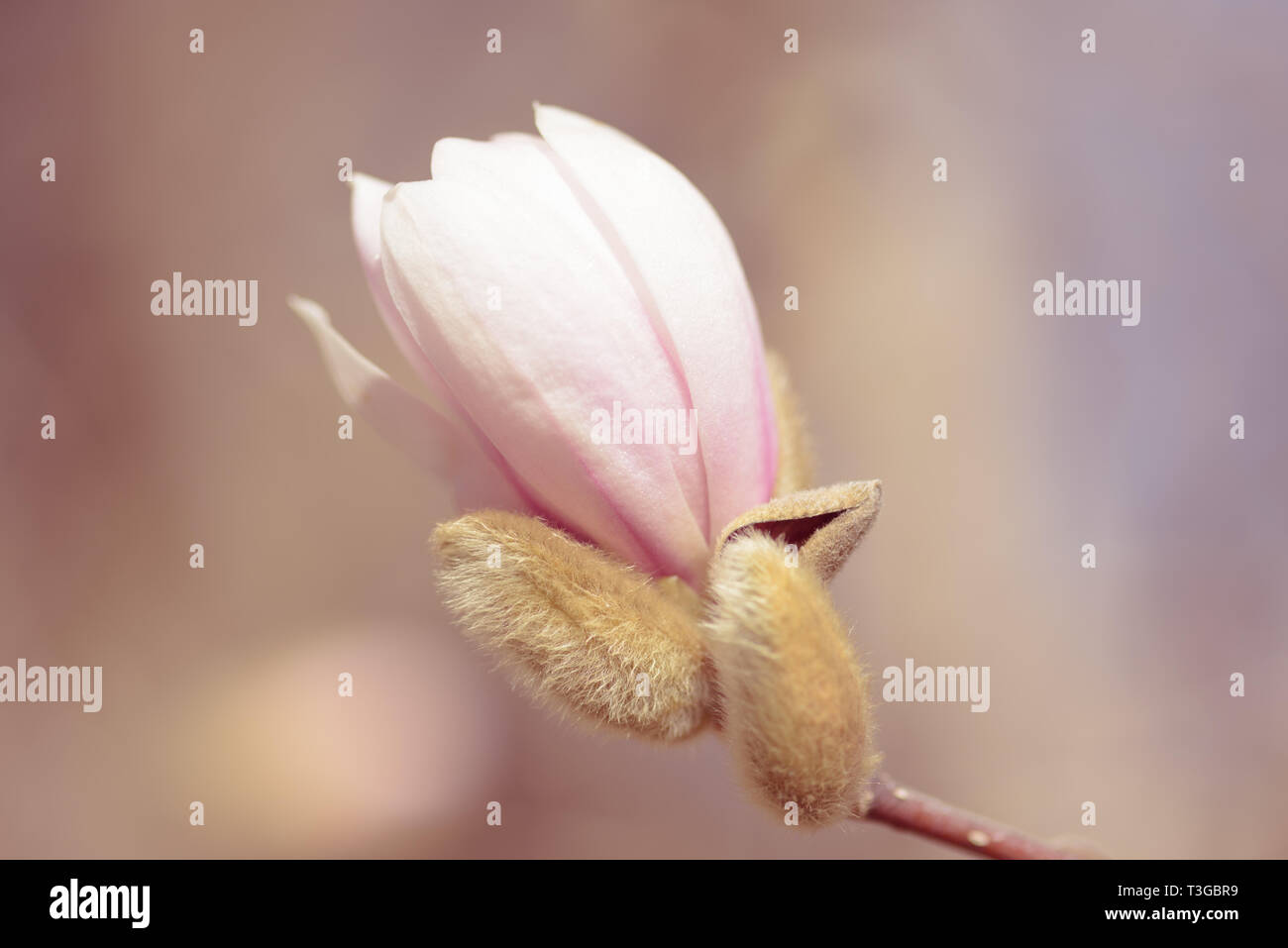 Magnolia is a large genus of about 210 flowering plant species in the subfamily Magnolioideae of the family Magnoliaceae. It is named after French bot Stock Photo