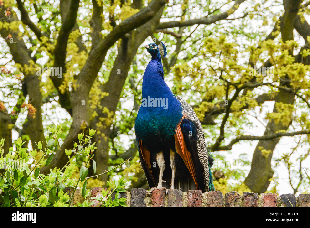 An Indian Peacock (Peafowl) sitting on a wall in Holland Park, London, UK - Stock Image