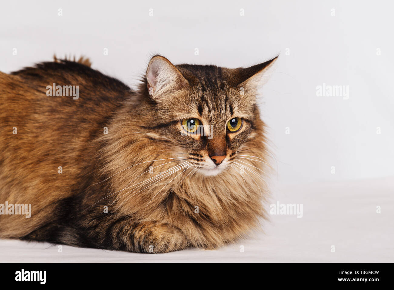 Gray tabby furry cute cat lying on a light wall background, close-up. Striped fluffy cat with a long mustache portrait. Stock Photo