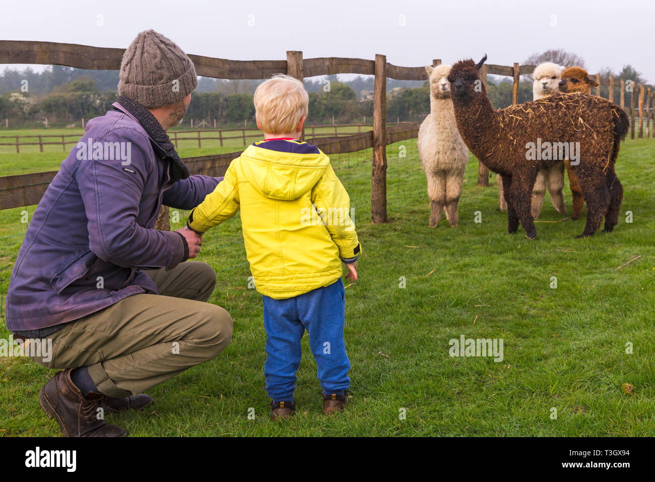 Man and boy looking at group of young Alpacas, Vicugna pacos, in field at Longthorns Farm, Wareham, Dorset UK in April - alpaca - Stock Image