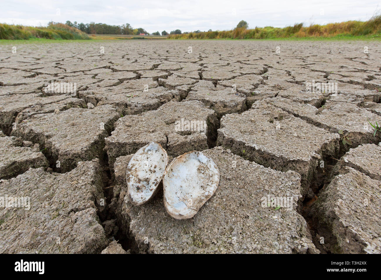 Open swan mussel (Anodonta cygnea) shells in dry cracked clay mud in dried up lake bed / riverbed caused by prolonged drought in summer in hot weather - Stock Image