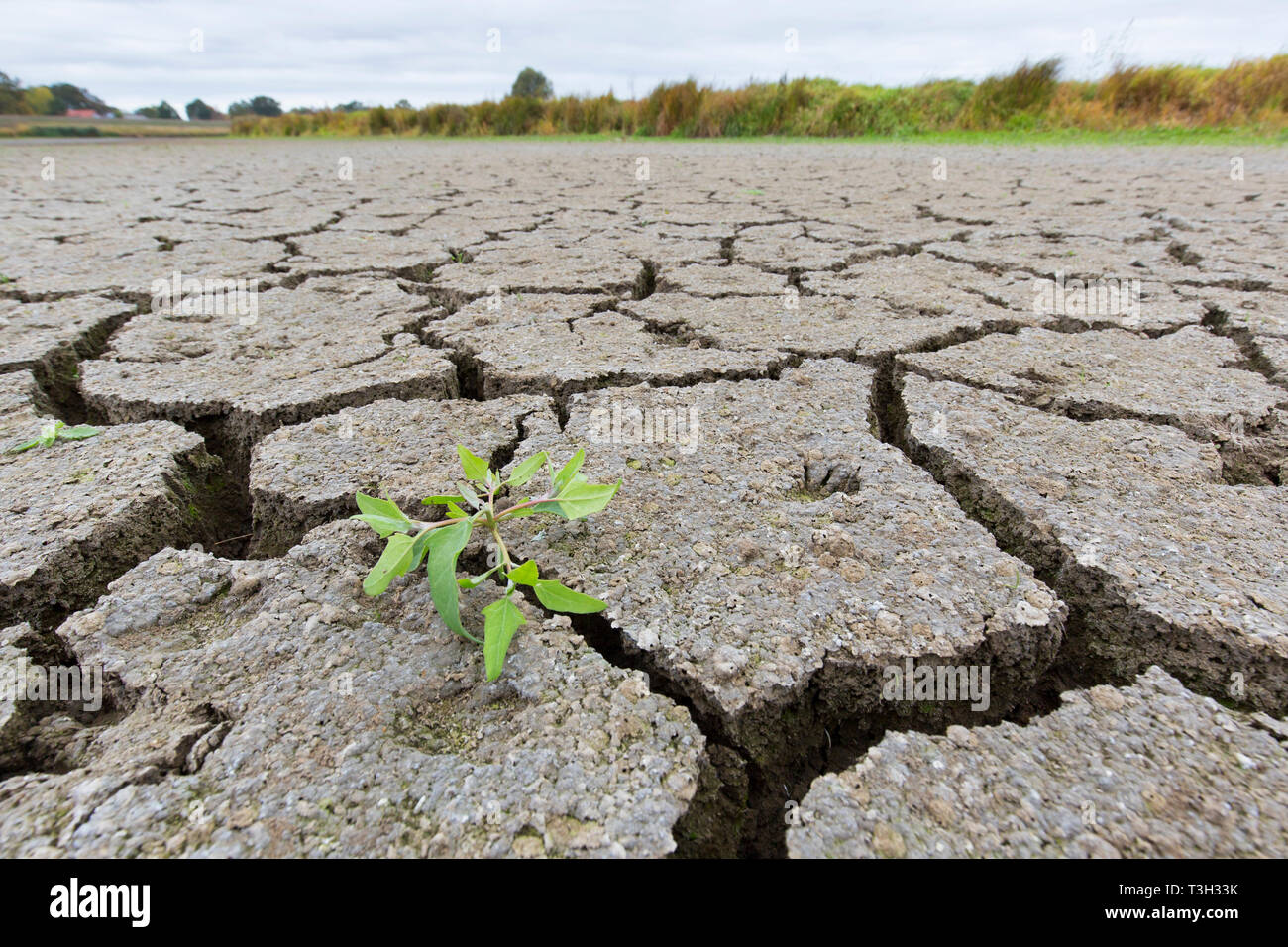 New shoot of plant in dry cracked clay mud in dried up lake bed / riverbed caused by prolonged drought in summer in hot weather temperatures - Stock Image