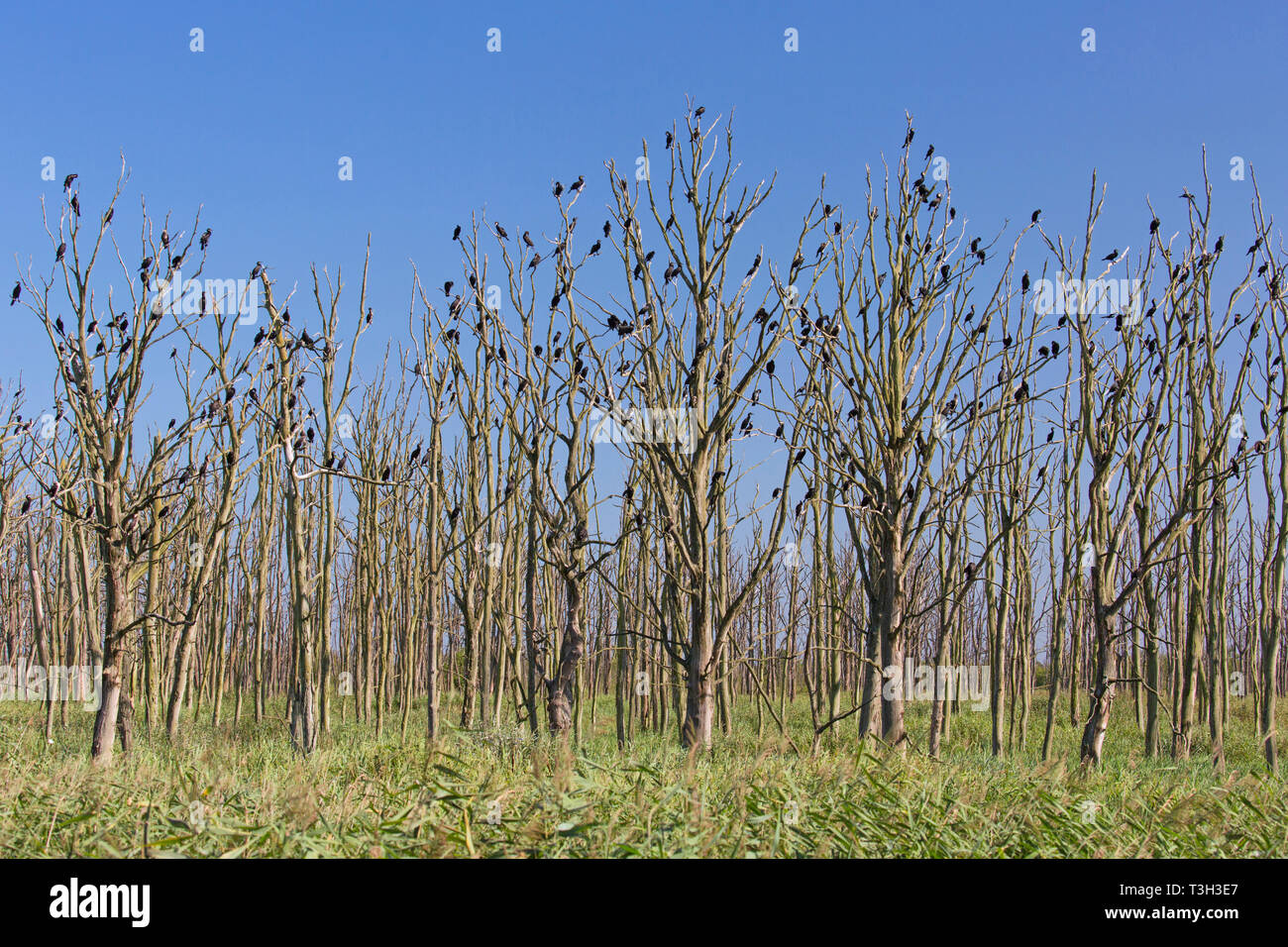 Great cormorants (Phalacrocorax carbo) colony perched in dead trees in summer, Anklamer Stadtbruch nature reserve, Mecklenburg-West Pomerania, Germany - Stock Image