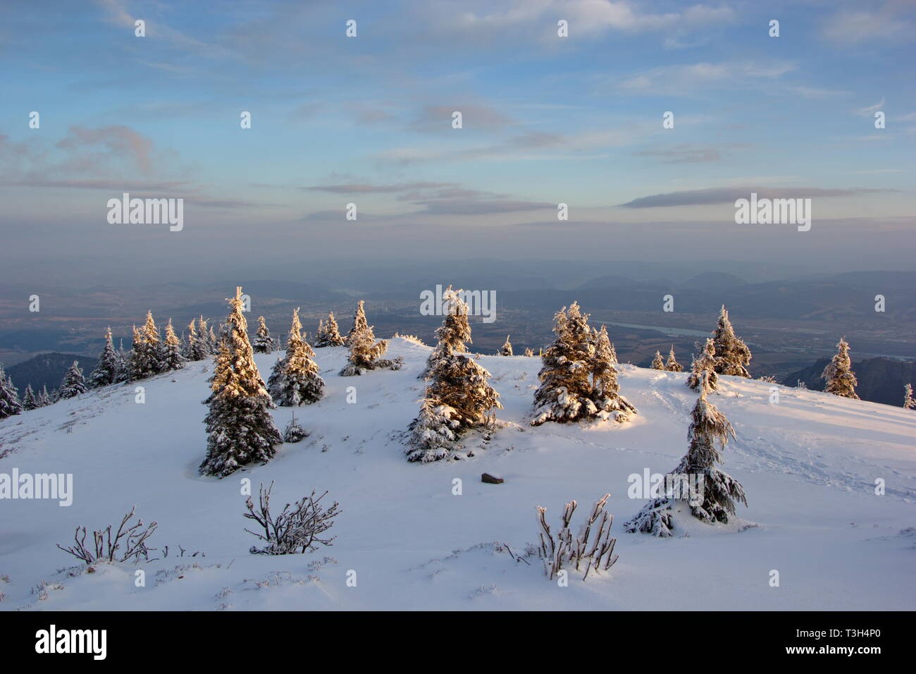 small spruces on the top of the mountain at sunrise - Stock Image