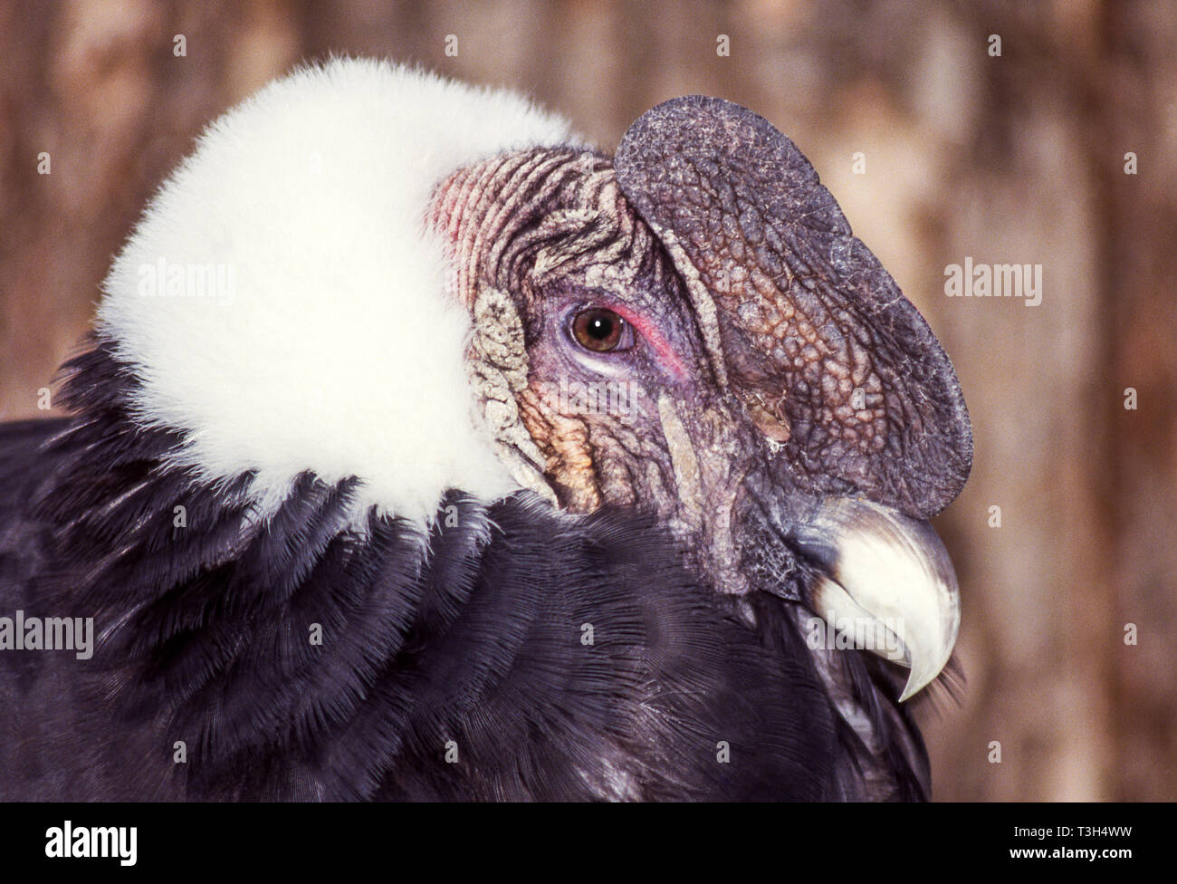 Andean Condor (Vultur gryphus).An oldish injured  bird in captivity in Chile. - Stock Image